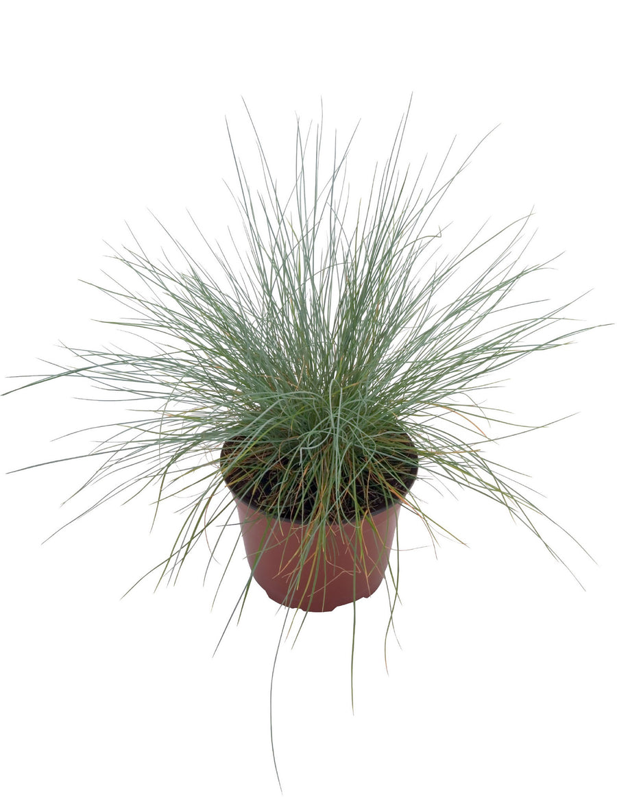 Blue Fescue Freddy