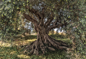 Komar Olive Tree Fotobehang National Geographic 368x254cm | Yourdecoration.nl