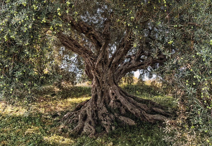 Komar Olive Tree Fotobehang National Geographic 368x254cm