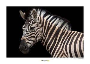 Komar Damara Zebra Kunstdruk | Yourdecoration.nl