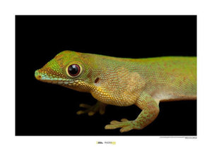 Komar Flat-tailed Day Gecko Kunstdruk | Yourdecoration.nl