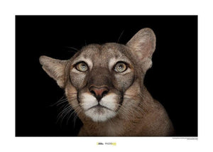 Komar Florida Panther Portrait Kunstdruk | Yourdecoration.nl