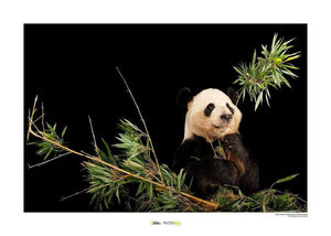 Komar Giant Panda 1 Kunstdruk | Yourdecoration.nl