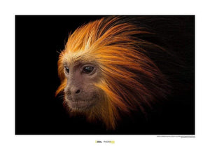 Komar Golden-headed Lion Tamarin Kunstdruk | Yourdecoration.nl
