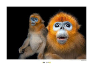 Komar Golden Snub-nosed Monkey Kunstdruk | Yourdecoration.nl