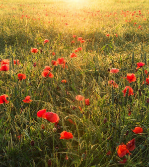Komar Poppy World Vlies Fotobehang 250x280cm 5-banen | Yourdecoration.nl