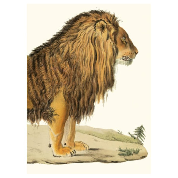 A Barbary Lion Card