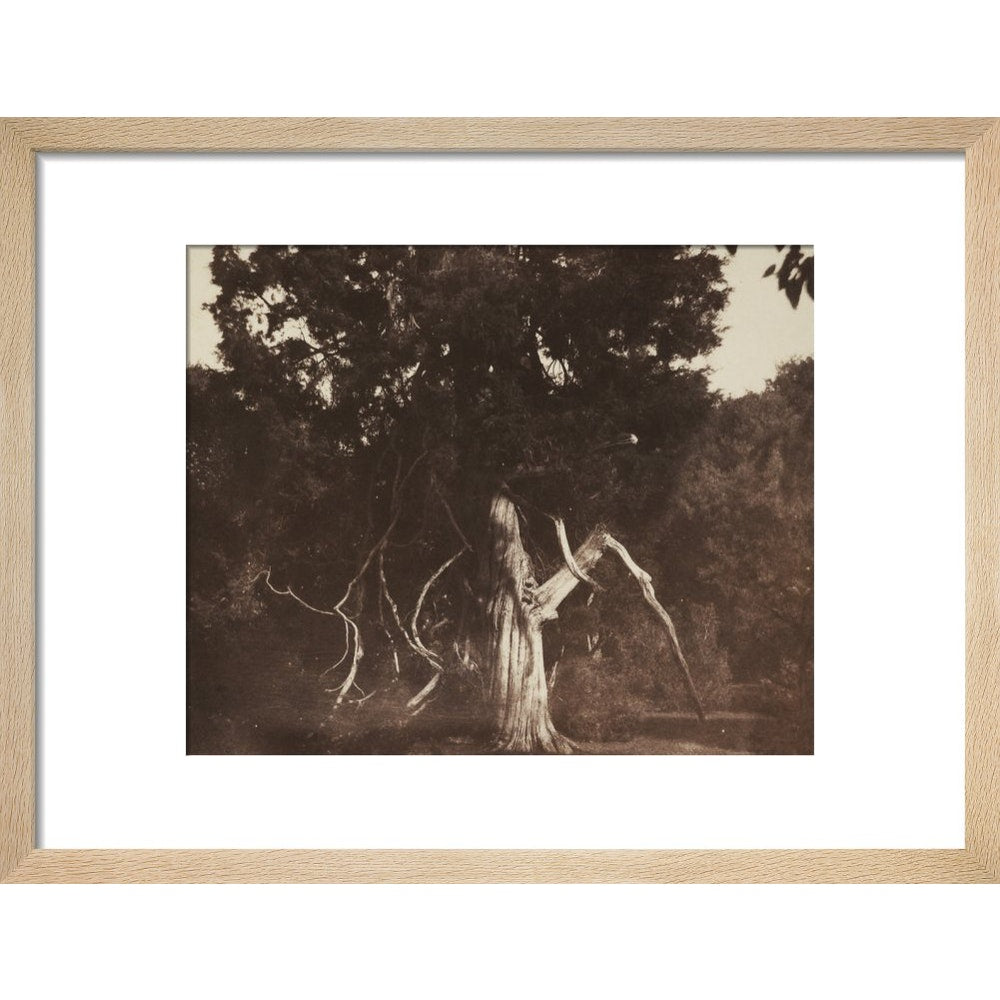 An Aged Red Cedar in the Grounds of Mount Edgcumbe print in natural frame