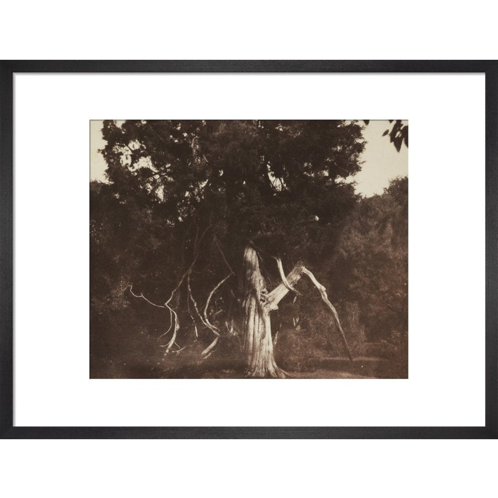 An Aged Red Cedar in the Grounds of Mount Edgcumbe print in black frame