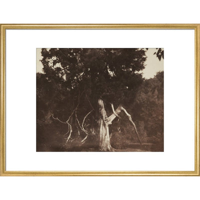 An Aged Red Cedar in the Grounds of Mount Edgcumbe print in gold frame