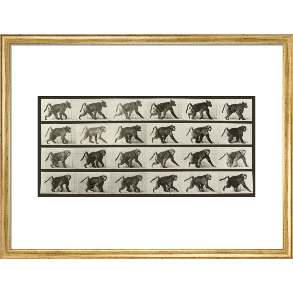 Baboon Walking on All Fours print