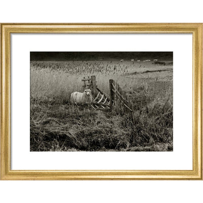 Sheep print in gold frame
