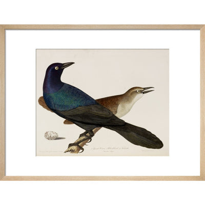 Great Crow Blackbird print in natural frame