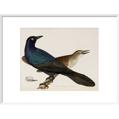 Great Crow Blackbird print in white frame