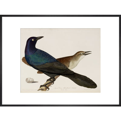 Great Crow Blackbird print in black frame