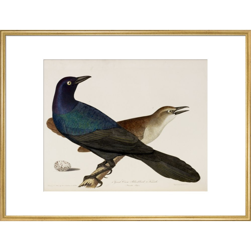 Great Crow Blackbird print in gold frame