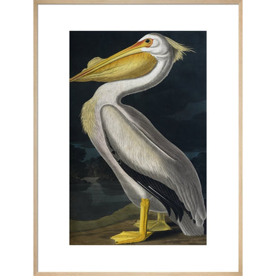 American White Pelican print in natural frame