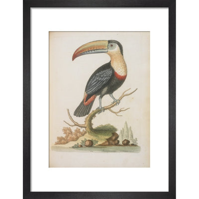 The Toucan print in black frame