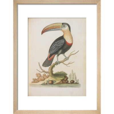 The Toucan print in natural frame