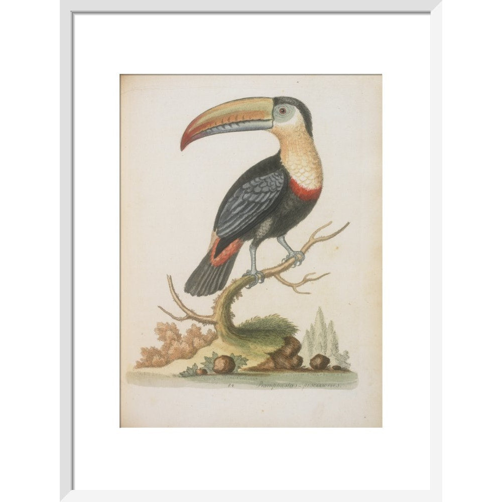 The Toucan print in white frame
