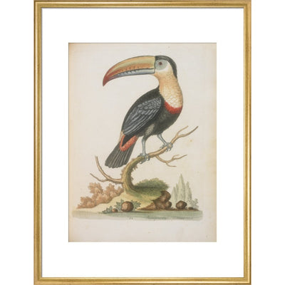 The Toucan print in gold frame