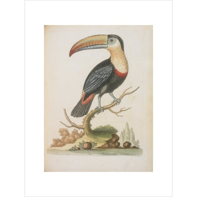 The Toucan print unframed