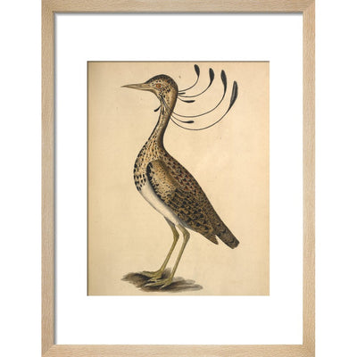 Florican print in natural frame