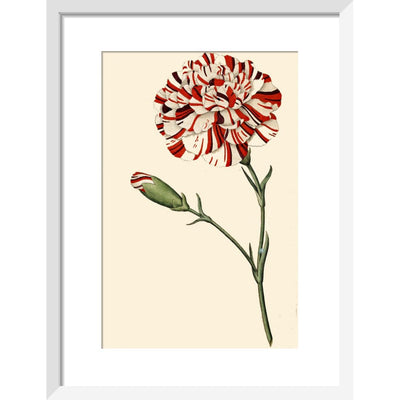 Dianthus (Pinks and carnations) print in white frame
