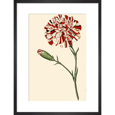 Dianthus (Pinks and carnations) print in black frame