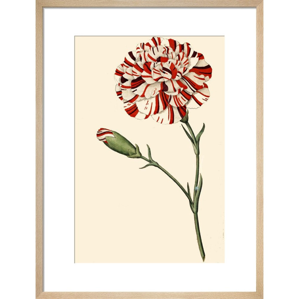 Dianthus (Pinks and carnations) print in natural frame