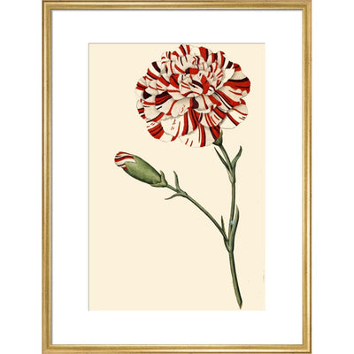 Dianthus (Pinks and carnations) print in gold frame