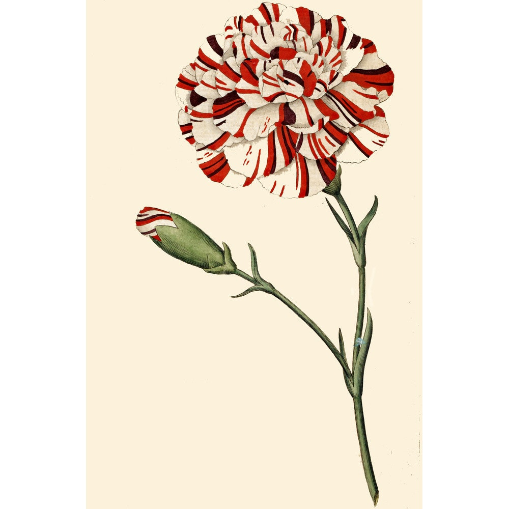 Dianthus (Pinks and carnations) print