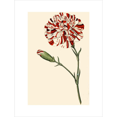 Dianthus (Pinks and carnations) print unframed