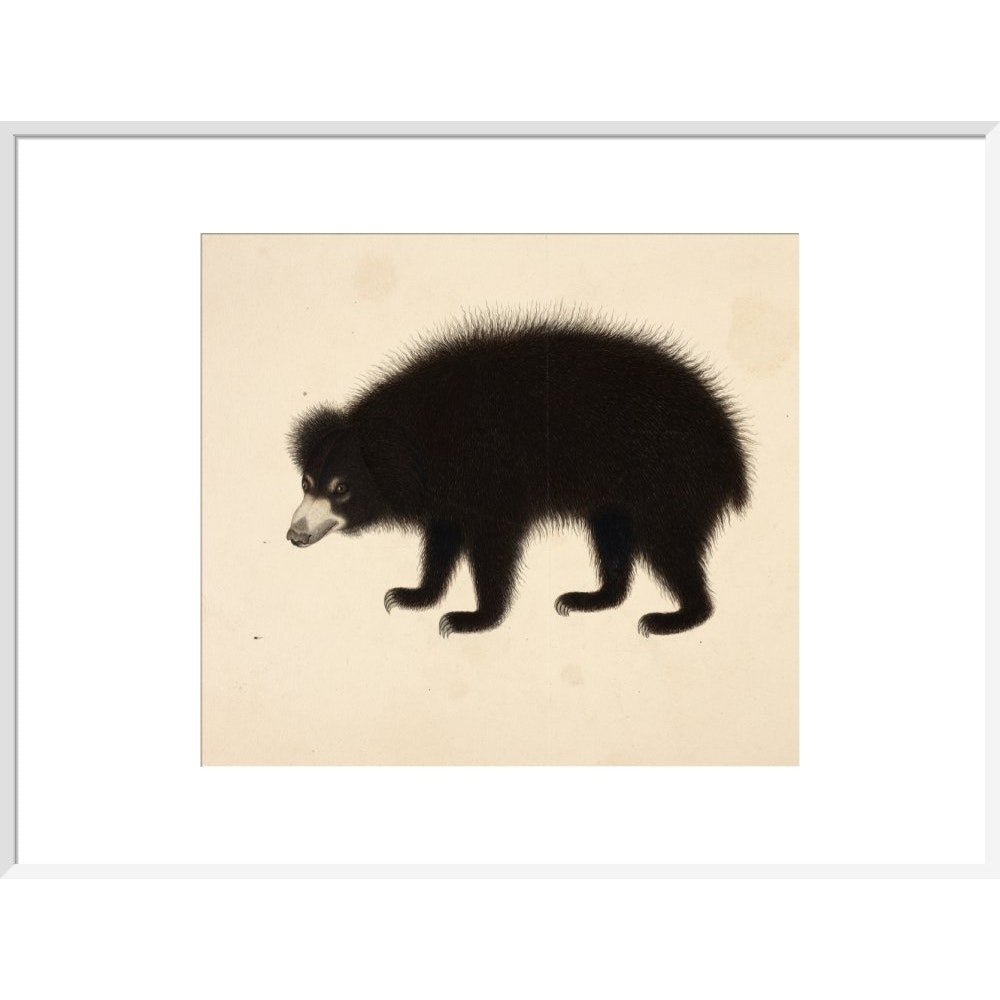 Sloth Bear print in white frame