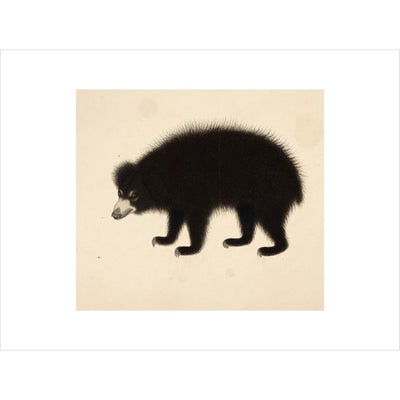 Sloth Bear print unframed