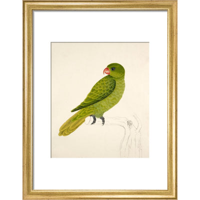 Blue-Backed Parrot print in gold frame