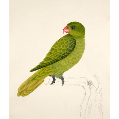 Blue-Backed Parrot print