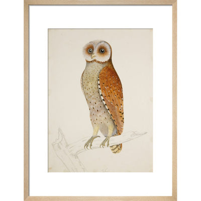 Bay owl (Phodilus Badius) print in natural frame