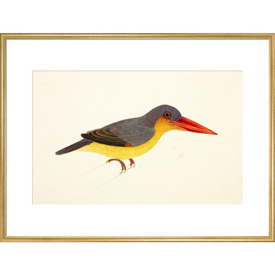Stork-Billed Kingfisher print