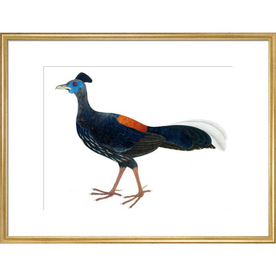 Crested Fireback Pheasant print in gold frame