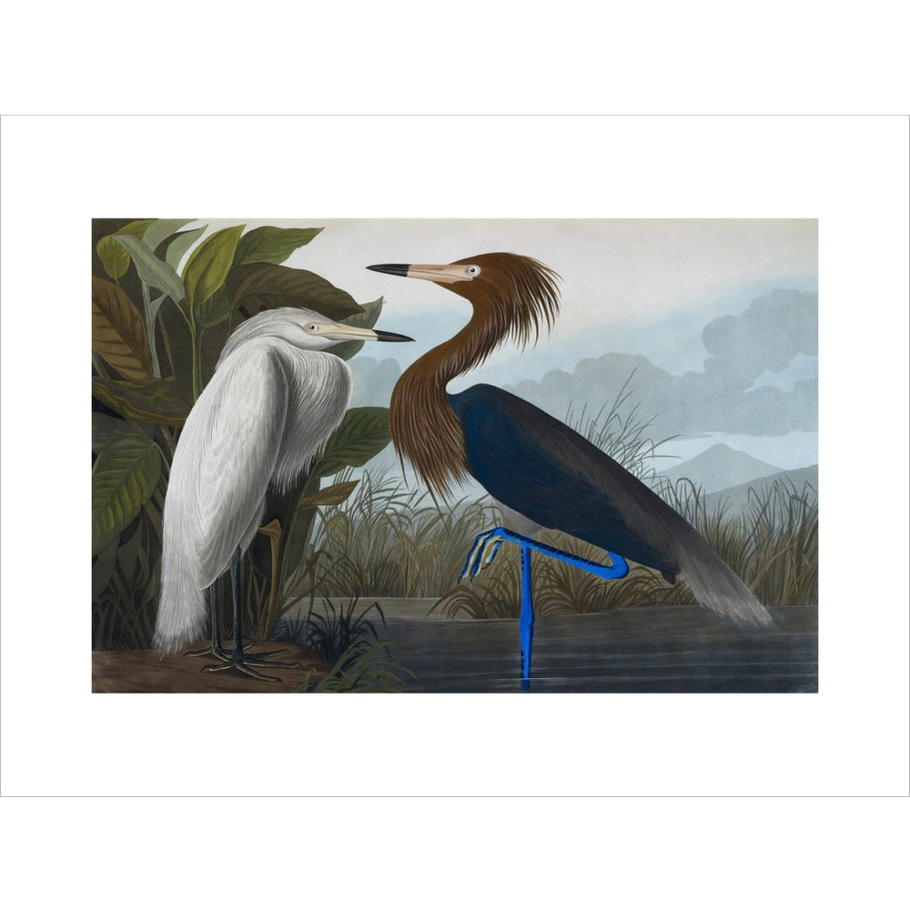Audubon's Purple herons (Ardeo refescens) print