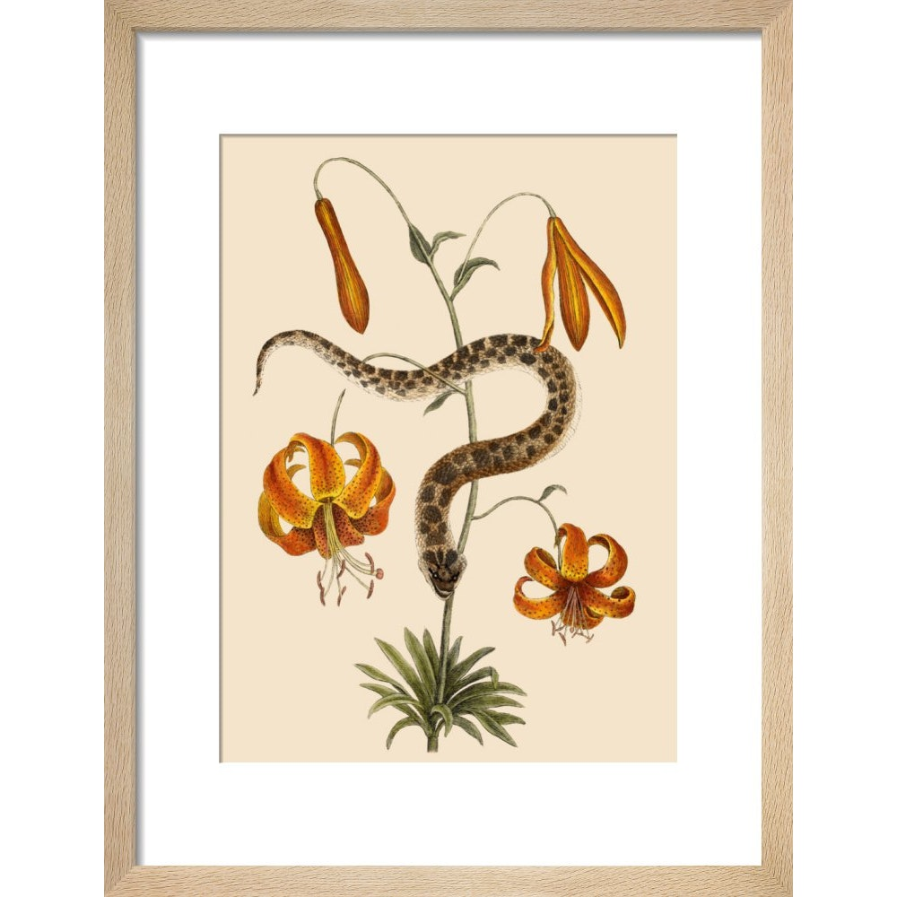 Lilium (Lily) print in natural frame
