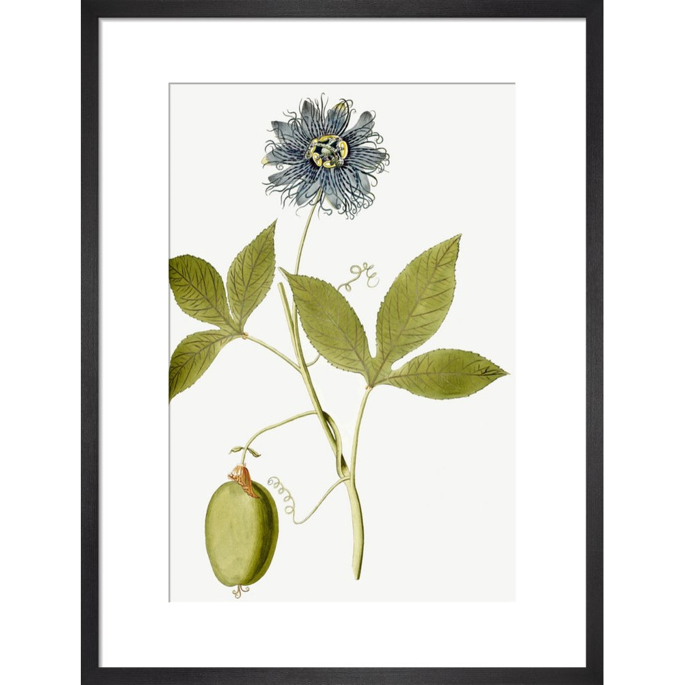 Passiflora (Passion flower) print in black frame