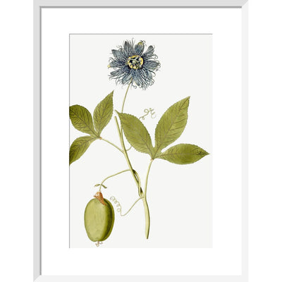 Passiflora (Passion flower) print in white frame
