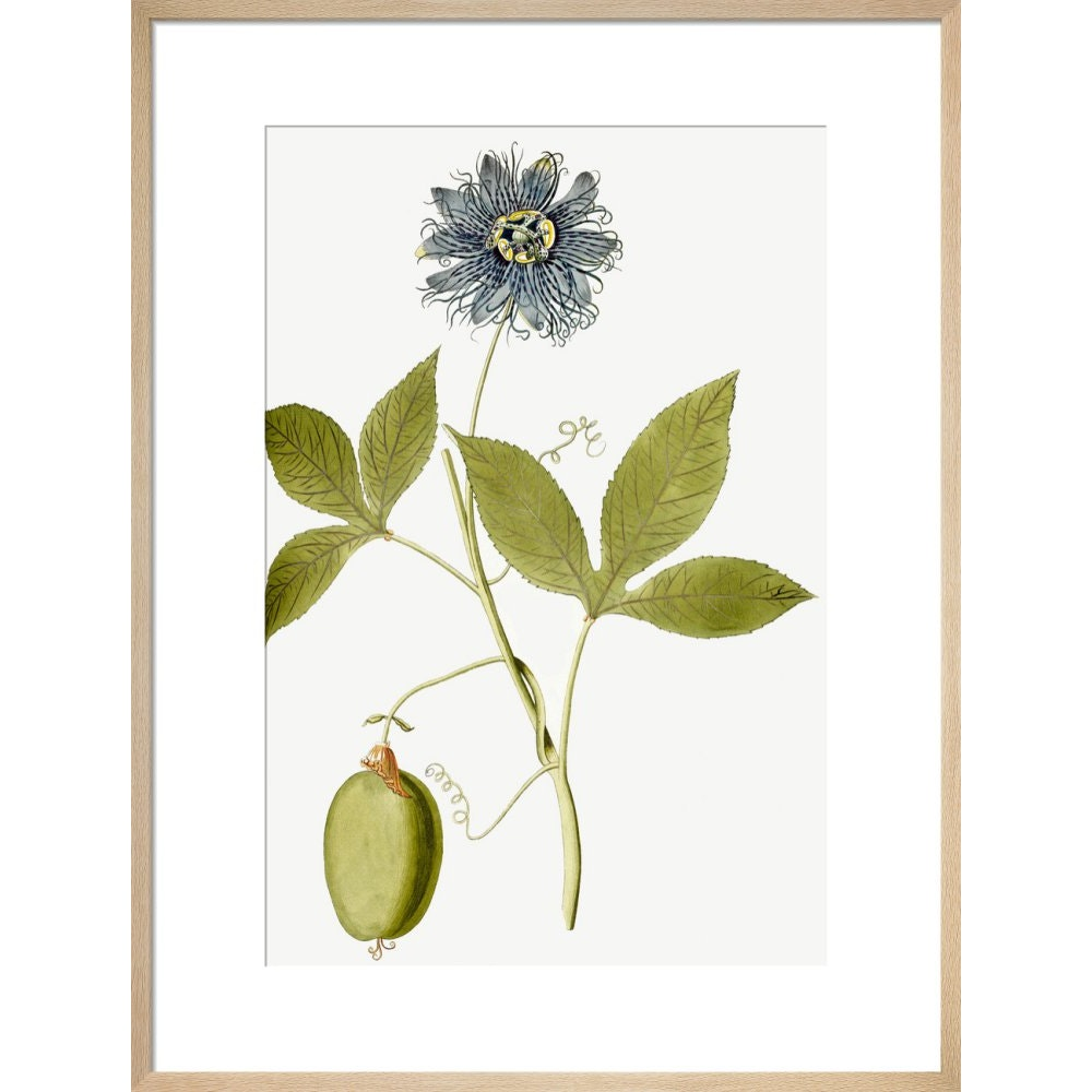 Passiflora (Passion flower) print in natural frame