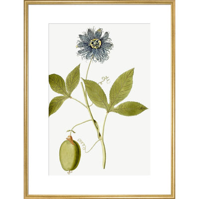 Passiflora (Passion flower) print in gold frame
