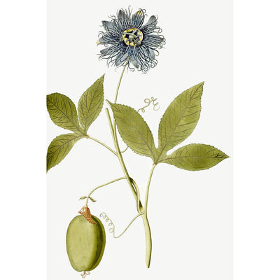 Passiflora (Passion flower) print