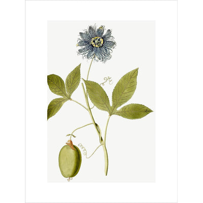 Passiflora (Passion flower) print unframed