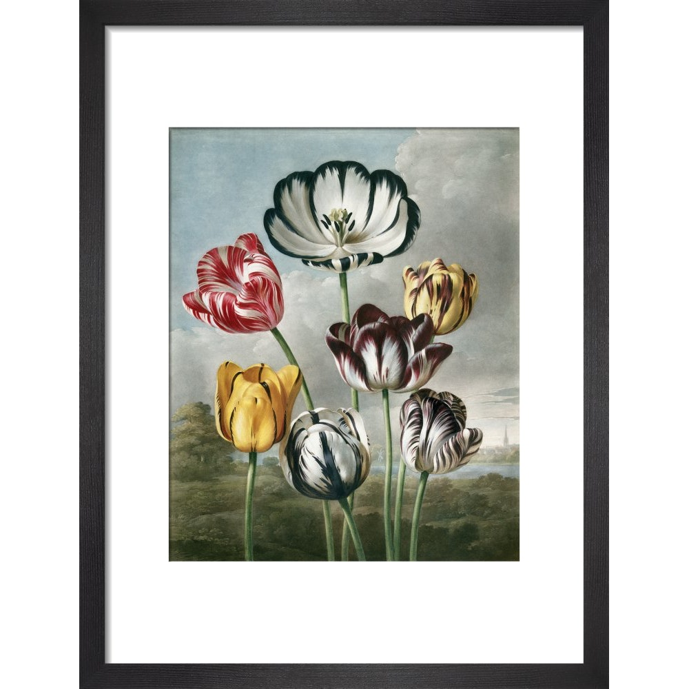 Tulips - The Temple of Flora print in black frame
