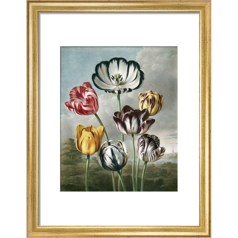 Tulips - The Temple of Flora print in gold frame